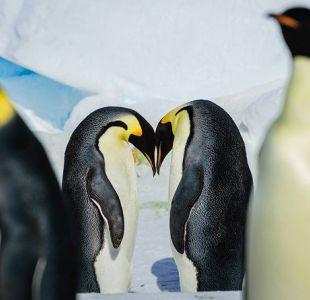 #PenguinDay: 10 datos del Pingüino Emperador que quizás no conocías