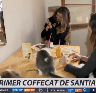 [VIDEO] El primer coffecat de Santiago: para compartir e incluso adoptar gatos