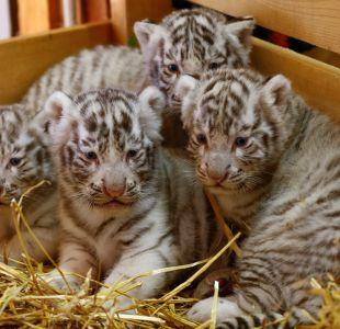 Nacen tigres blancos en Zoo de Austria