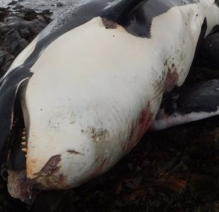 Un contaminante prohibido hace más de 40 años fue hallado en una ballena orca