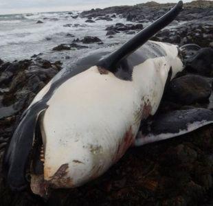 Los exorbitantes niveles de un contaminante prohibido hace más de 40 años hallados dentro de una ballena orca