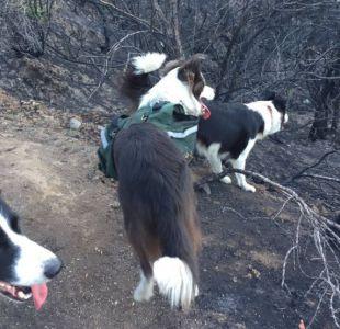 Reforestación canina: la inesperada ayuda para reforestar los bosques quemados