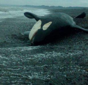 Encuentran orca varada en playa de Santo Domingo
