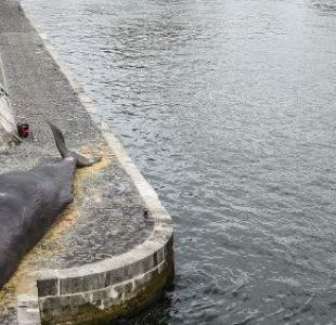 Una ballena encallada tiene atónitos a los transeúntes de París