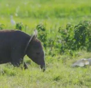 La curiosa cámara con la que BBC graba a los elefantes