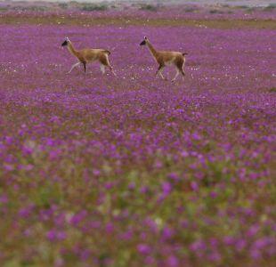 Desierto Florido: ¿Cómo disfrutar y preservar un fenómeno único?