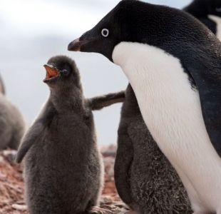 La catastrófica muerte de miles de crías de una colonia de pingüinos en la Antártica