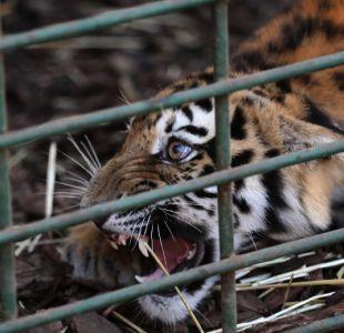 """Una tigresa """"devoradora de hombres"""" muere electrocutada en India"""