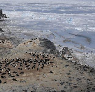Miles de pingüinos murieron de hambre en la Antártica por cambio en el ambiente