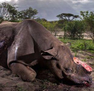 La imagen de un rinoceronte mutilado que ganó uno de los premios más prestigiosos de fotografía
