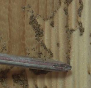 Termitas en Placilla