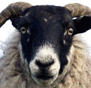 La sorprendente capacidad de las ovejas para reconocer a Barack Obama y otros personajes famosos