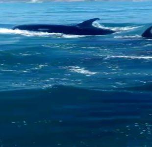 [VIDEO] Avistamiento de orcas sorprende a pescadores en Talcahuano