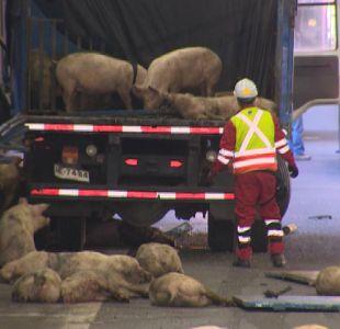 [VIDEO] Decenas de chanchos quedan tirados en la autopista tras un choque