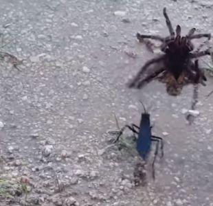 [VIDEO] La feroz pelea entre una tarántula y una avispa gigante que impresiona a todos