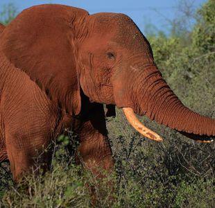 Polémica decisión del gobierno de Trump de permitir la importación de trofeos de elefantes a EEUU