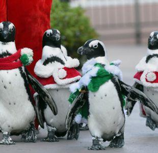 [FOTOS] Pingüinos se preparan para la navidad