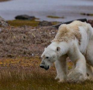 ¿Está realmente el cambio climático detrás de las impactantes imágenes del oso polar moribundo?