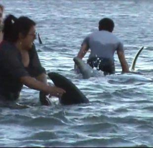 Investigan causas del extraño varamiento de delfines en Llico