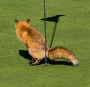 Un zorro que hace sus necesidades donde no debe y otras divertidísimas fotos de naturaleza