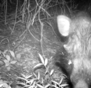 Logran filmar por primera vez al cerdo más feo del mundo