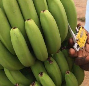 La remota plantación que podría tener la clave para ganar la batalla y salvar los plátanos del mundo