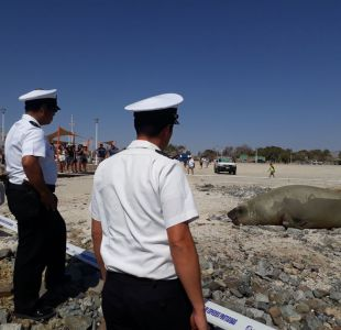 Armada protege a elefante marino hallado en Bahía Inglesa