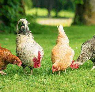 Francia permitirá solo la venta de huevos de gallinas felices