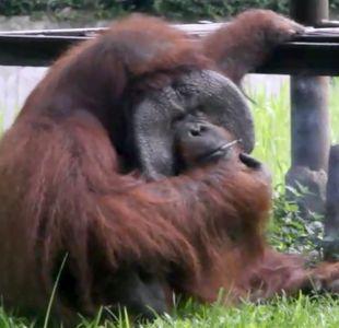 [VIDEO] Polémica en Indonesia por orangután que fuma