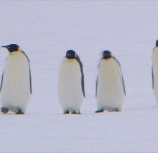 [VIDEO] ¿Qué se hace para conservar a los pingüinos chilenos?