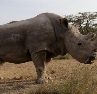 ¿Qué pueden hacer los científicos para salvar a la especie del rinoceronte blanco del norte?