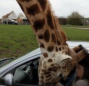 [VIDEO] Jirafa protagoniza accidente con un vehículo en safari