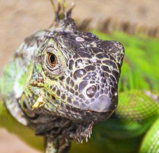 Por qué es normal que los lagartos tengan tres ojos