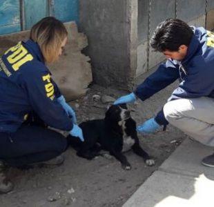 Detienen a hombre que tenía a sus perros infestados con garrapatas en Arica