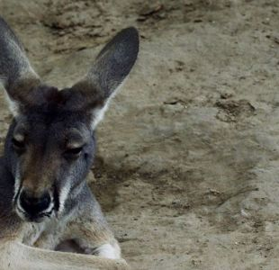 Visitantes de un zoológico chino matan a una canguro a pedradas