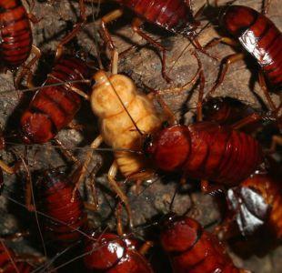 Para qué sirven los 6.000 millones de cucarachas que China cría cada año en gigantescas granjas