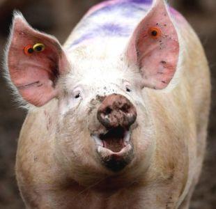 Cómo un equipo de científicos logró mantener vivos los cerebros de cerdos decapitados y los dilemas