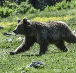 Foto referencial oso