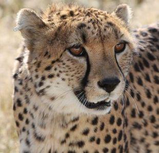 [VIDEO] Se aterran cuando un guepardo salta sobre su auto pero terminan sacándose selfies