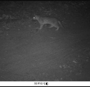 [FOTO] Gato Colocolo aparece de manera inédita en Lago Peñuelas