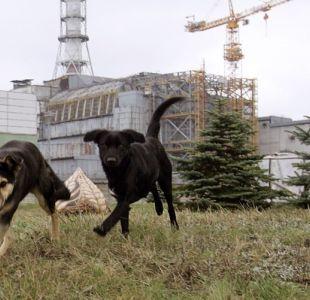 perros en Chernobyl