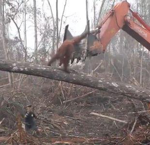[VIDEO] Un orangután se enfrenta a la máquina que destruye su hábitat en Indonesia