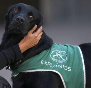 [VIDEO] Conoce a Curi, el perro que resguarda la seguridad en La Moneda