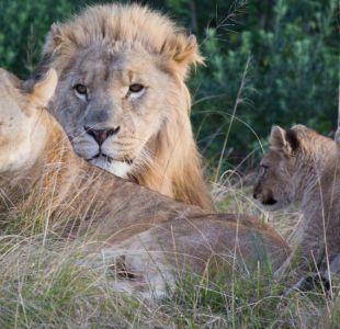 Leones devoran a dos cazadores que intentaban cazar rinocerontes de forma ilegal en Sudáfrica