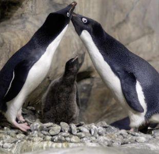"""¿Por qué los pingüinos caminan """"tomados de las manos""""?"""