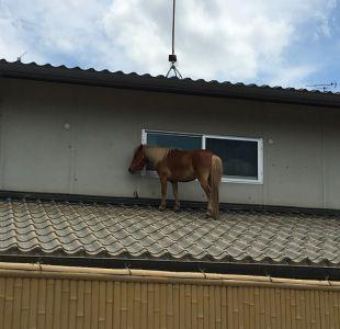 Yegua miniatura que se salvó de las aguas subiéndose a un tejado conmueve a Japón