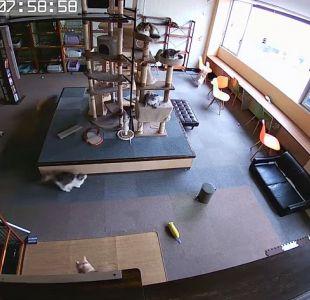 Video muestra cómo los gatos detectan un terremoto segundos antes de que ocurra