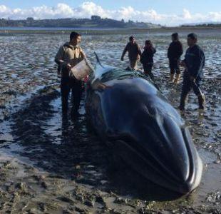 [VIDEO] Rescatan a una ballena varada en Chiloé