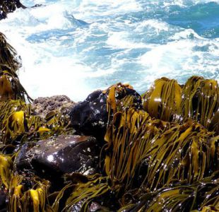 El desconcertante hallazgo de unas algas que viajaron 20.000 km hasta la Antártica