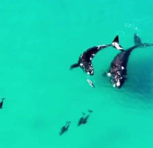 [VIDEO] La tierna escena de ballenas y delfines capturada en la costa australiana